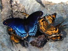 Butterflies Pearl Crescent Social Red Spotted Purple